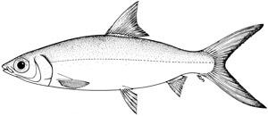 Milk Fish Clipart Black And White.