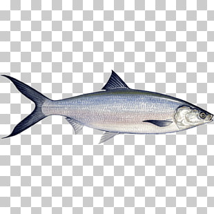 413 milkfish PNG cliparts for free download.