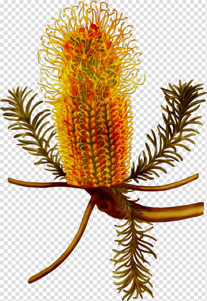 Banksia PNG clipart images free download.