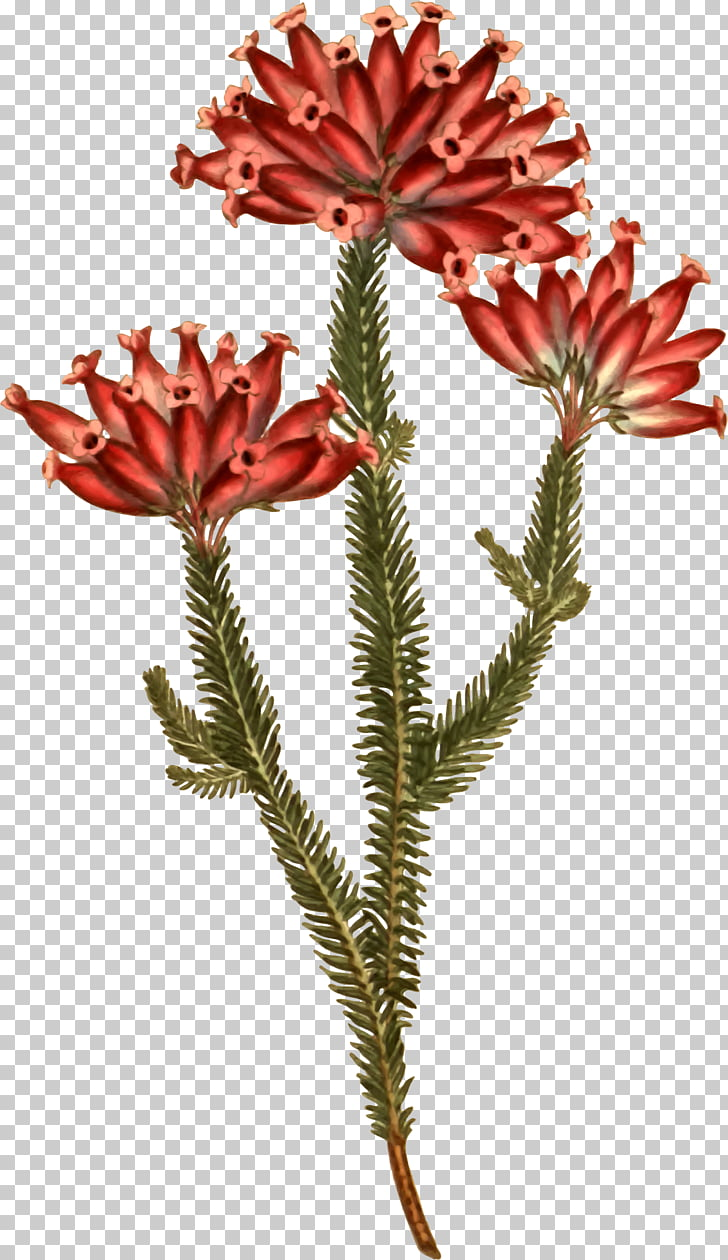 Banksia Plants: Text Open Flowering plant , flower PNG.