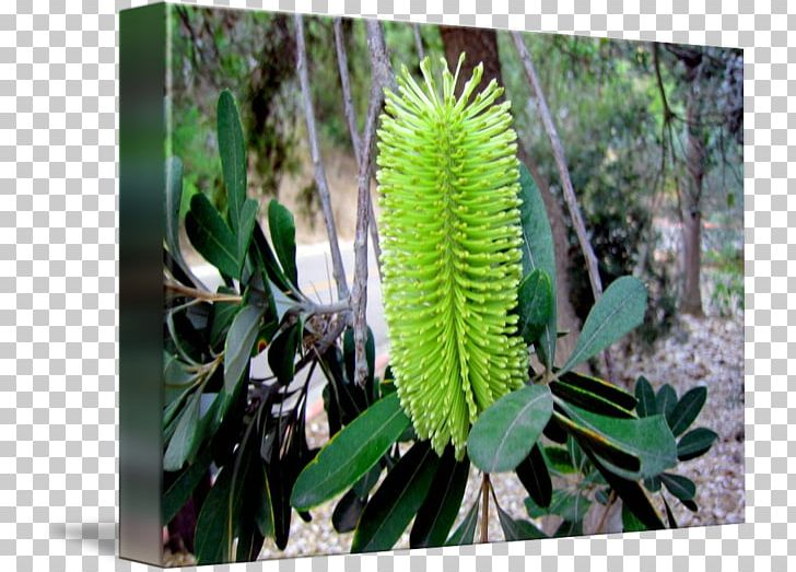 Banksia PNG, Clipart, Banksia, Flora, Flower, Grass, Marcia.