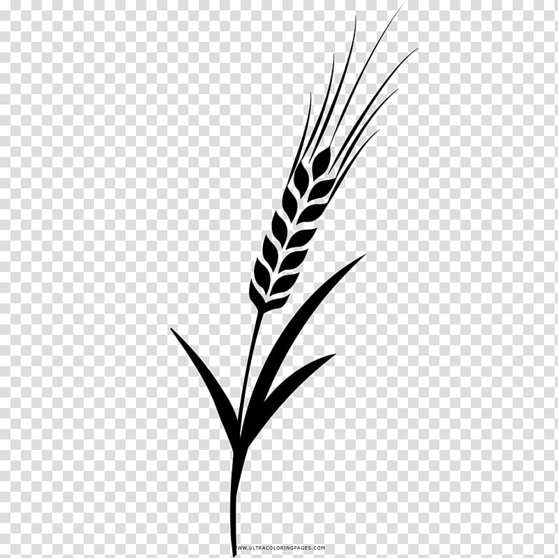 Barley Drawing Coloring book Grasses, barley transparent.