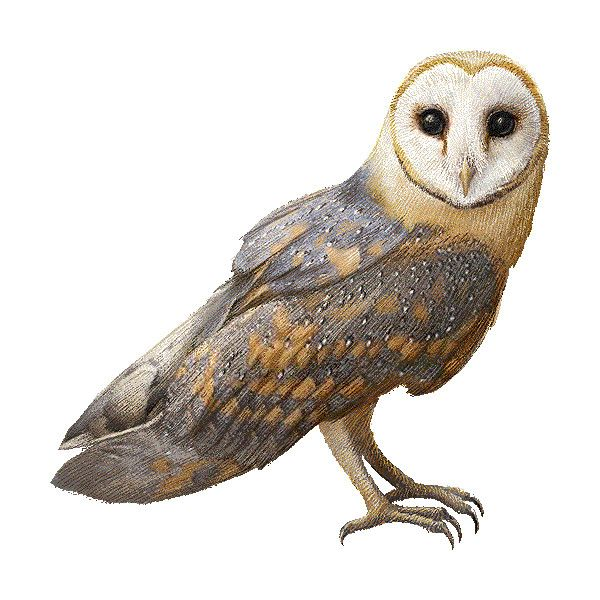 Barn Owl clipart graphics (Free clip art ❤ liked on.