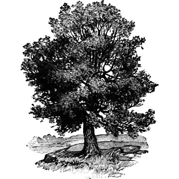 Oak Tree Clipart ❤ liked on Polyvore featuring backgrounds.