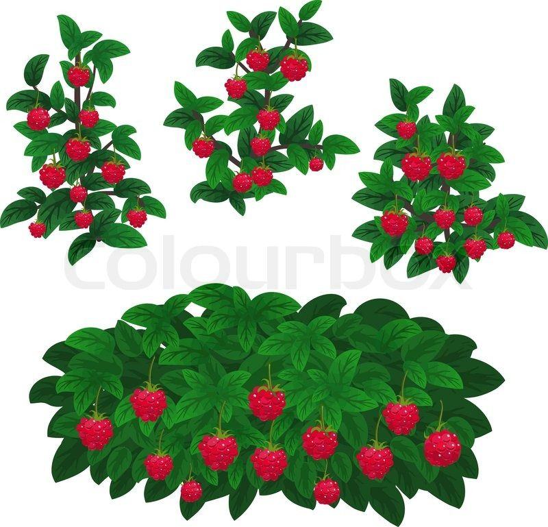 Raspberries Clipart wild berry 16.