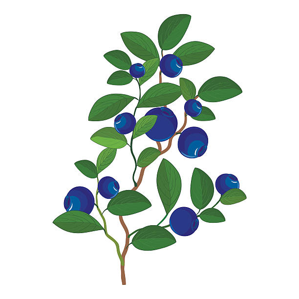 Berry bush clipart 1 » Clipart Station.