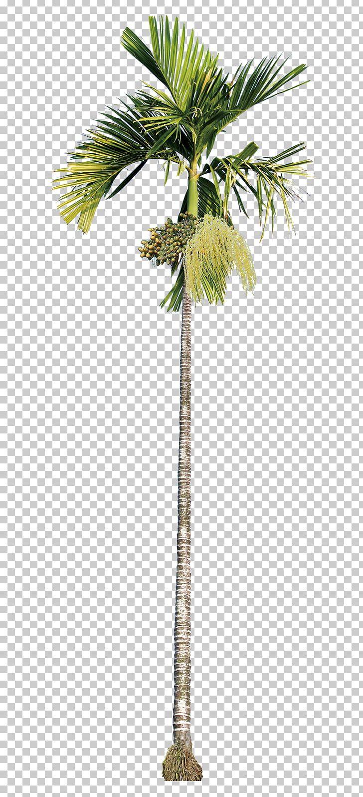 Areca Palm Asian Palmyra Palm Areca Nut Betel Nut Beauty PNG.