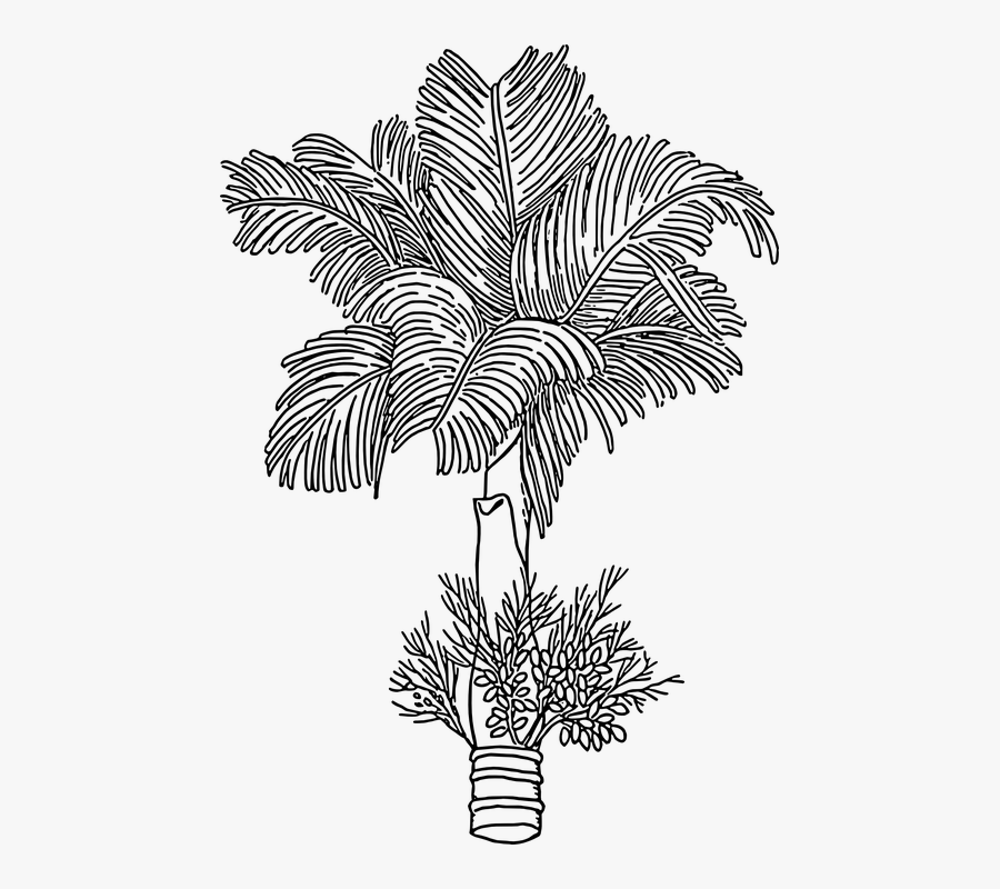Betel Nut Tree Drawing , Free Transparent Clipart.