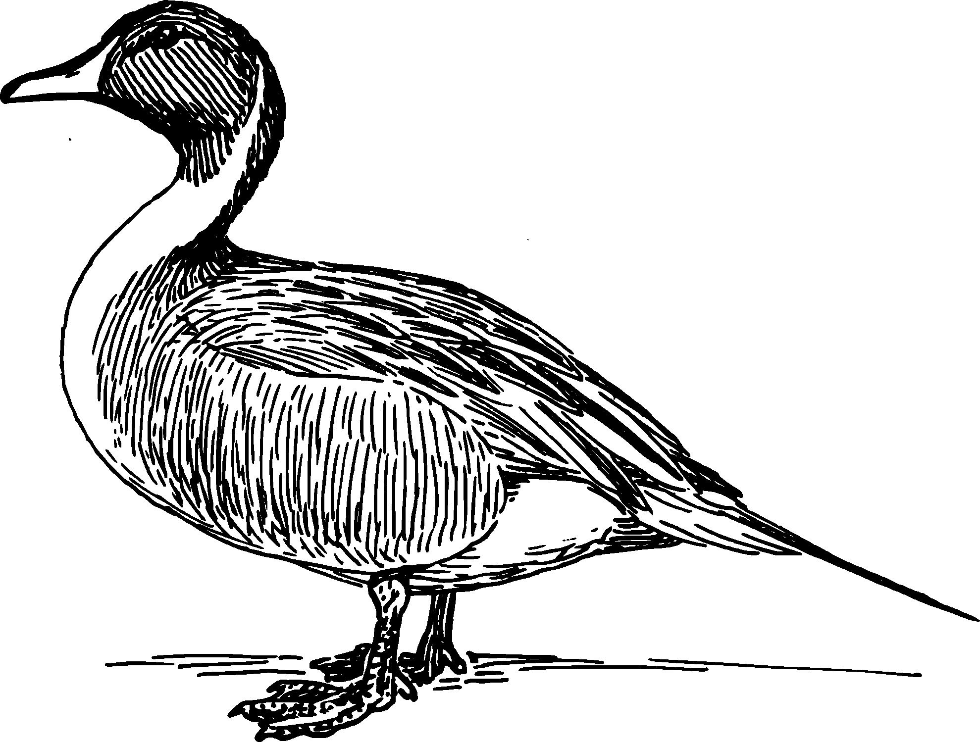 Duck Black And White Clipart.