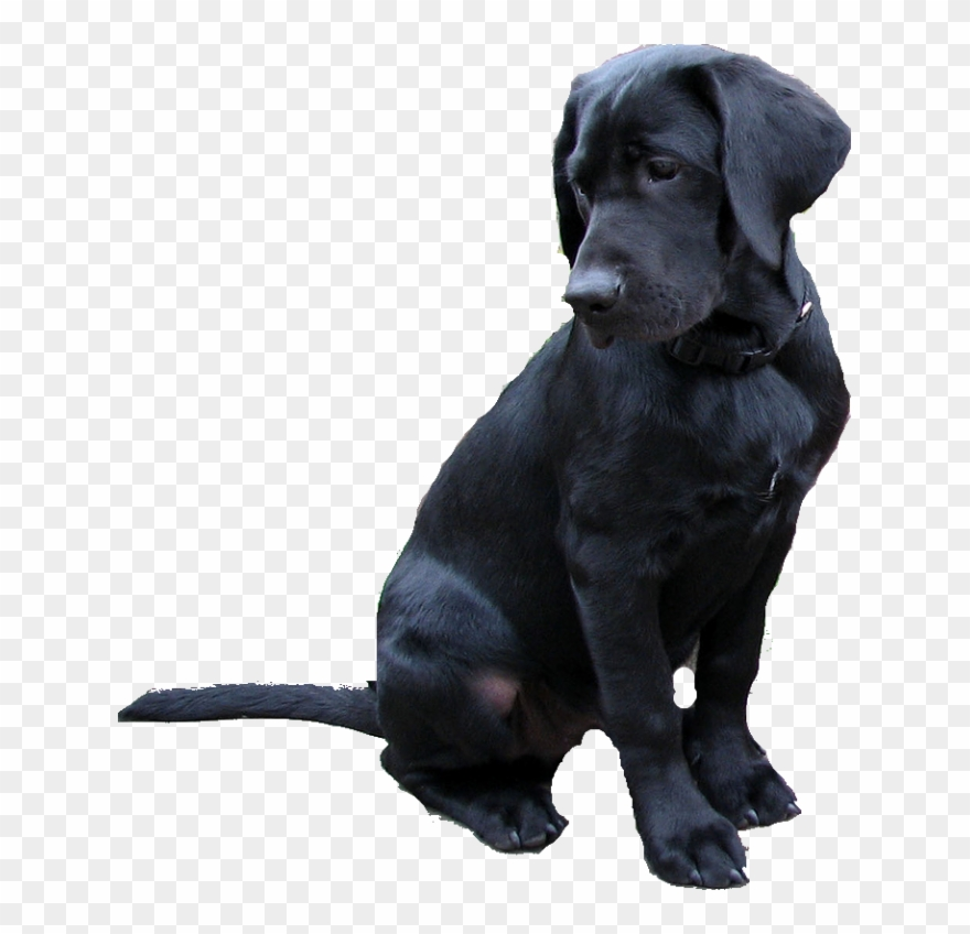 Labrador Retriever Png.