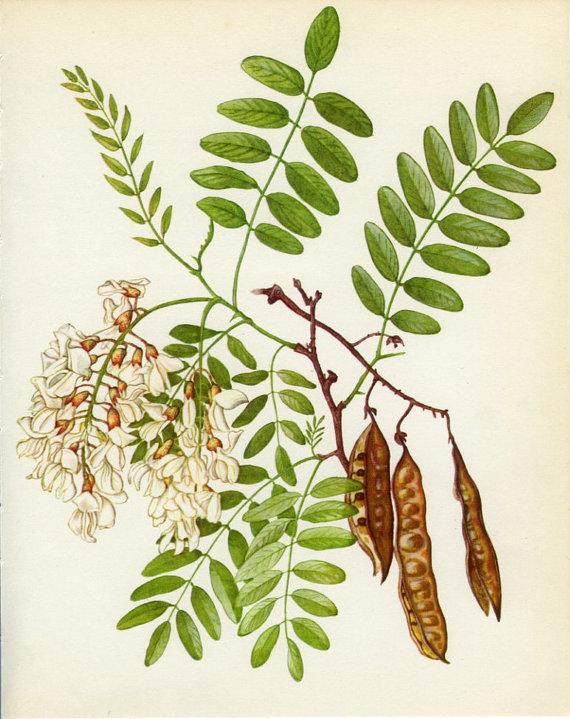Vintage Tree Print Black Locust Botanical by MarcadeVintagePrints.