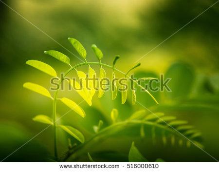 Clipart Black Locust Tree Leaf And Seed.