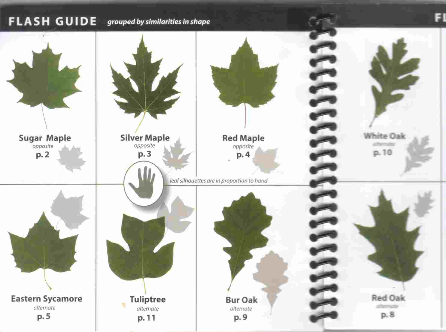 Clipart Tree Leaf And Seed Guide.