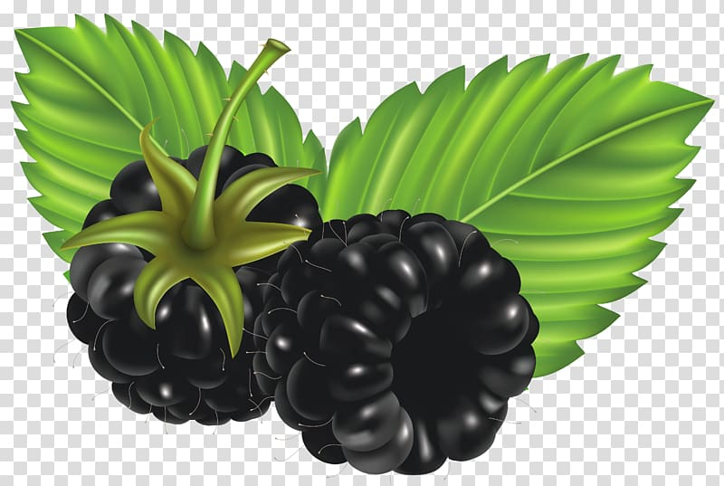 Raspberry illustration, Blackberry , Blackberries transparent.