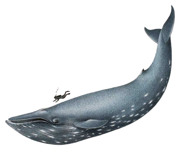 Clipart Of Blue Whale.