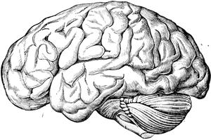 Brain PNG Transparent Images.