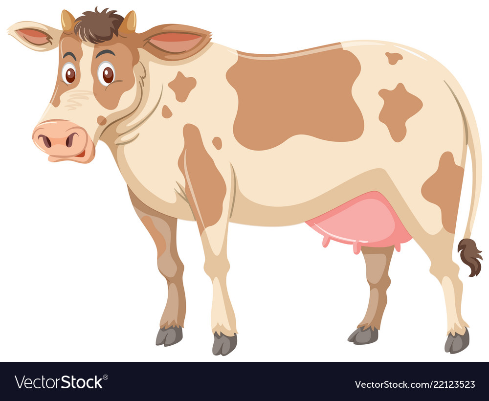Large brown cow white background.