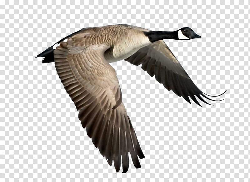 Goose, Canadian goose transparent background PNG clipart.