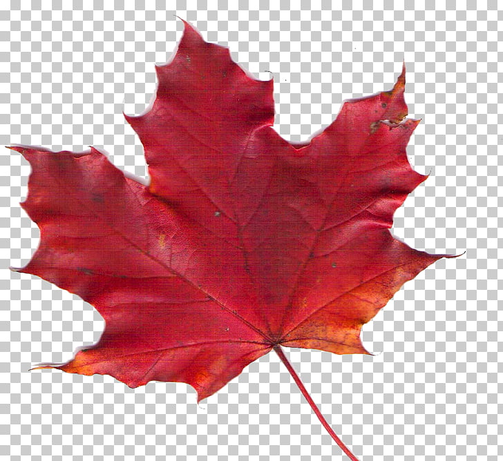 Canadiana Inn Maple Leaf, Toronto Motel Room, Canada leaf.