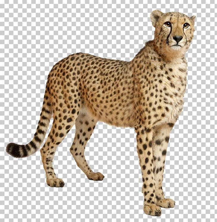 Cheetah PNG, Clipart, Cheetah Free PNG Download.