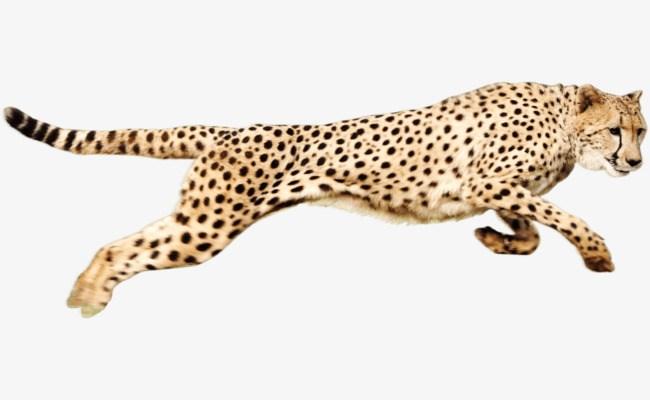 Cheetah running clipart 7 » Clipart Portal.