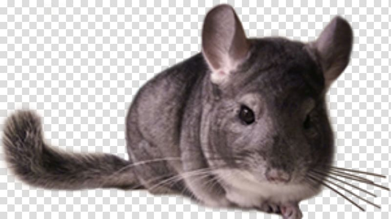 Chinchilla Care Rodent Whiskers Fur, others transparent.
