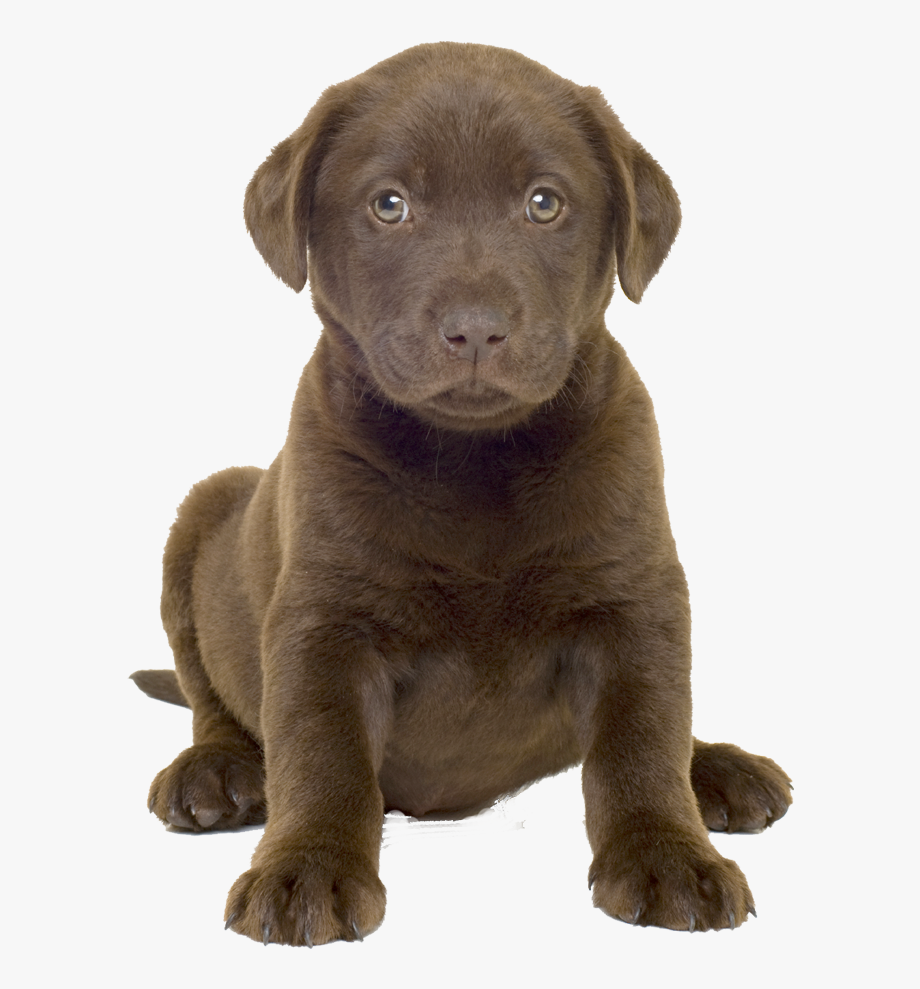 Can Use For Book Cover, Lab Puppy Clipart No Background.