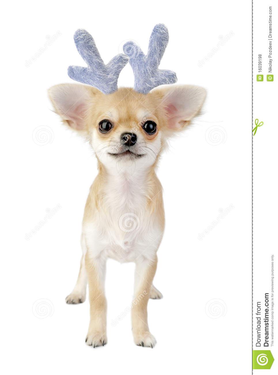 Christmas Chihuahua Puppy.
