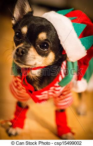 Stock Photography of xmas Chihuahua.