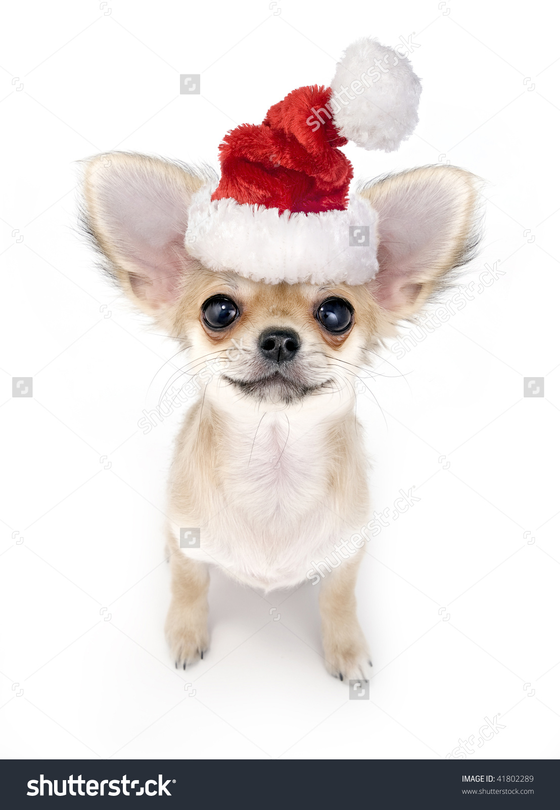 Christmas Chihuahua Puppy With Santa Hat On White Background Stock.