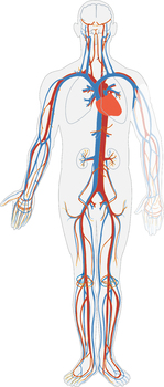 FREE Circulatory System clip art.