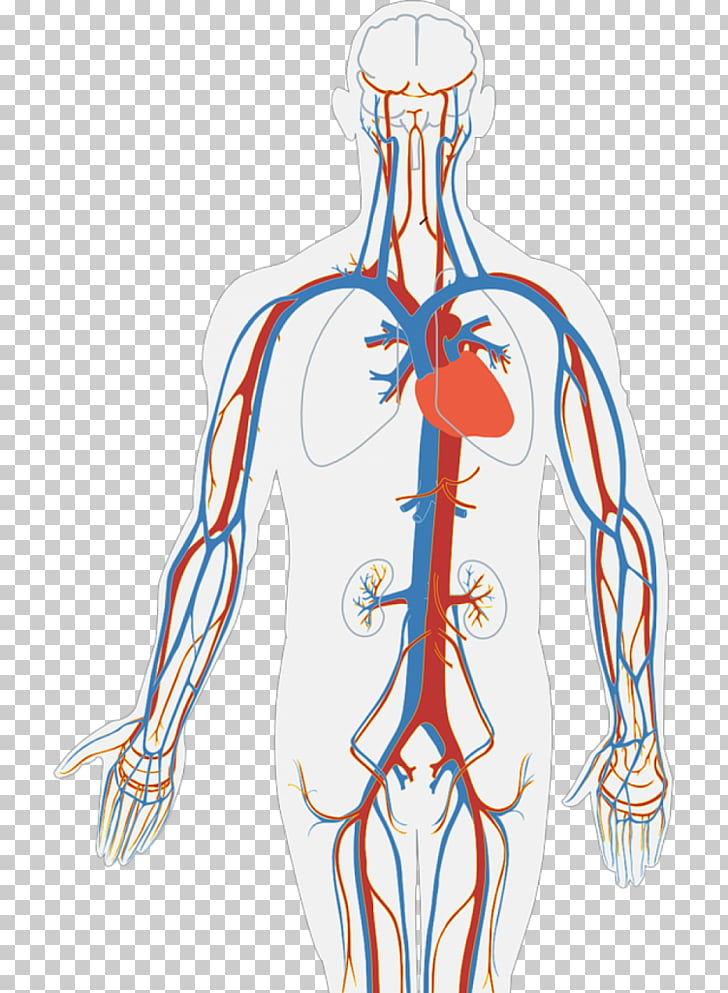 Circulatory system Human body Diagram Organ Heart, heart PNG.