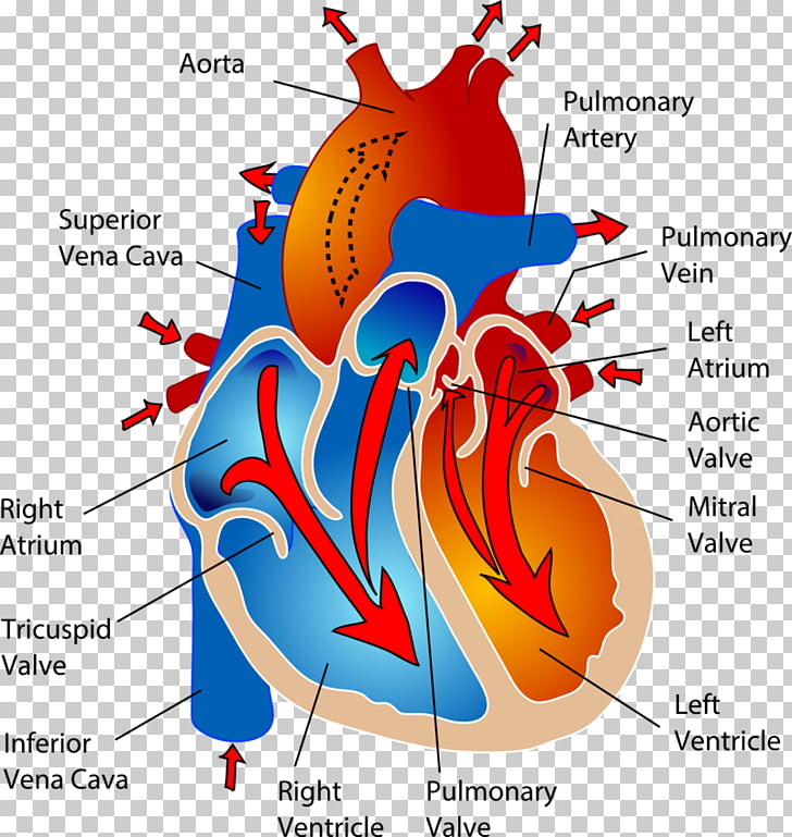The Cardiovascular System Circulatory system Heart Human.