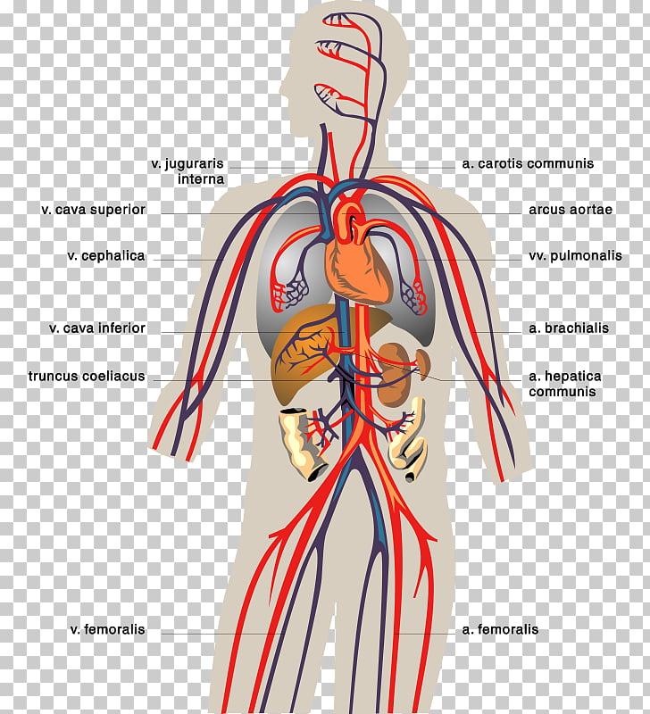 Circulatory system Human digestive system Digestion Human.