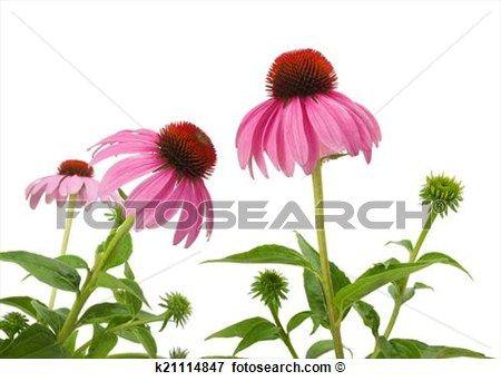 Purple Coneflowers Stock Photo.