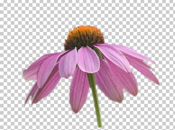 Coneflower Petal PNG, Clipart, Coneflower, Daisy Family, Eed.