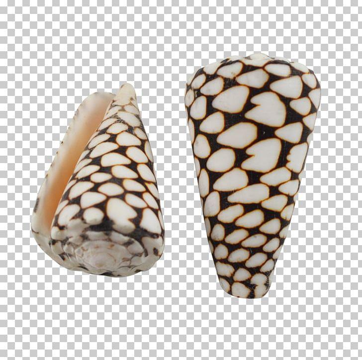 Seashell Conus Marmoreus Cone Snails Conus Litteratus.