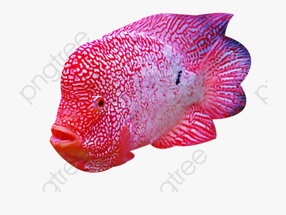 Red Spot Rohan Fish.