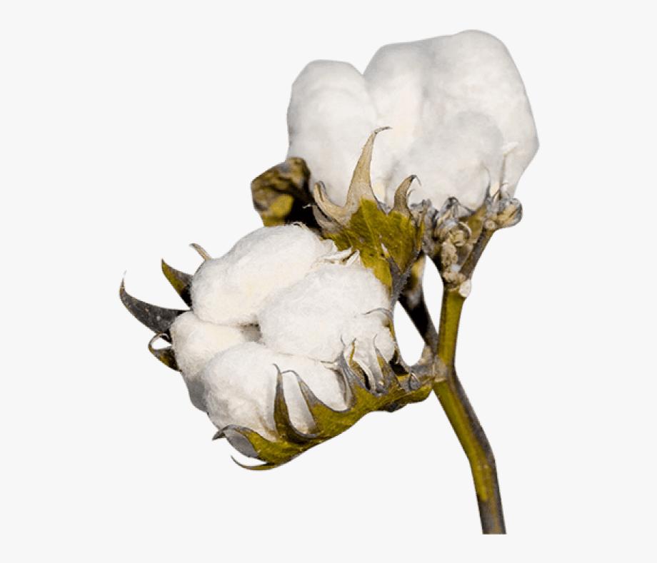 Cotton Png Clipart.
