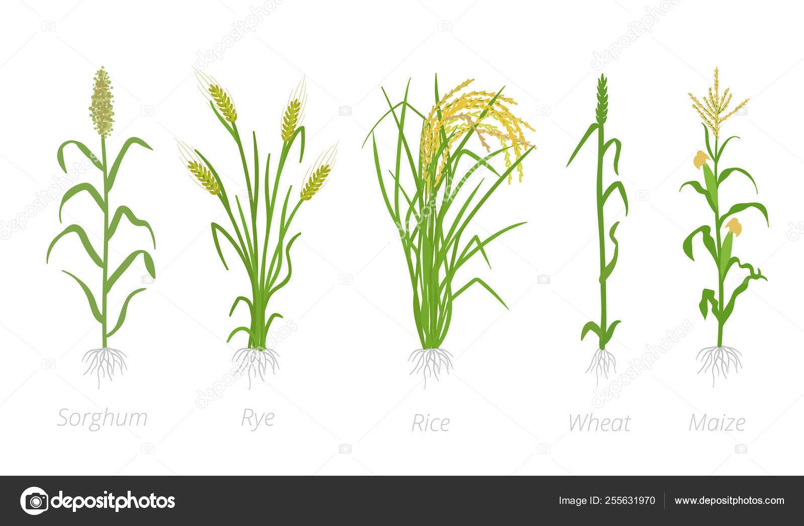 Clipart: crops clip art.
