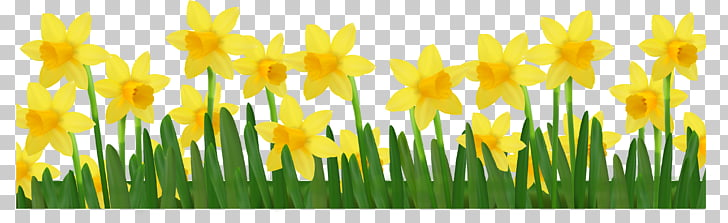 Daffodil , Grass with Daffodils , yellow daffodil flowers.