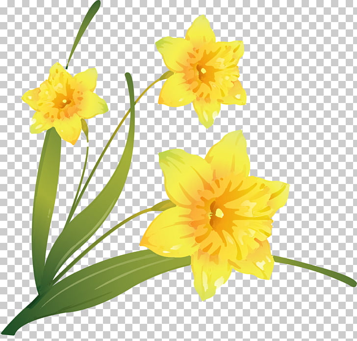 Daffodil Flower , flower PNG clipart.