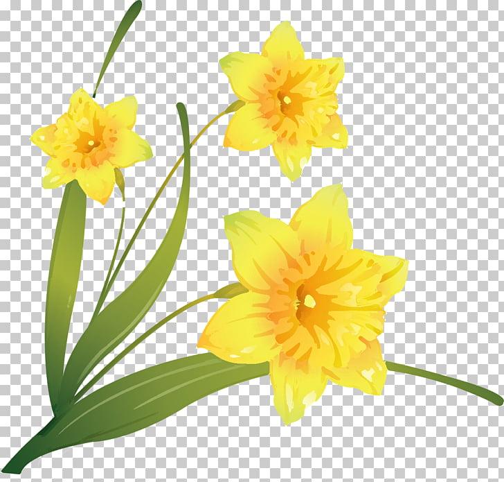 Daffodil Flower , flower PNG clipart.