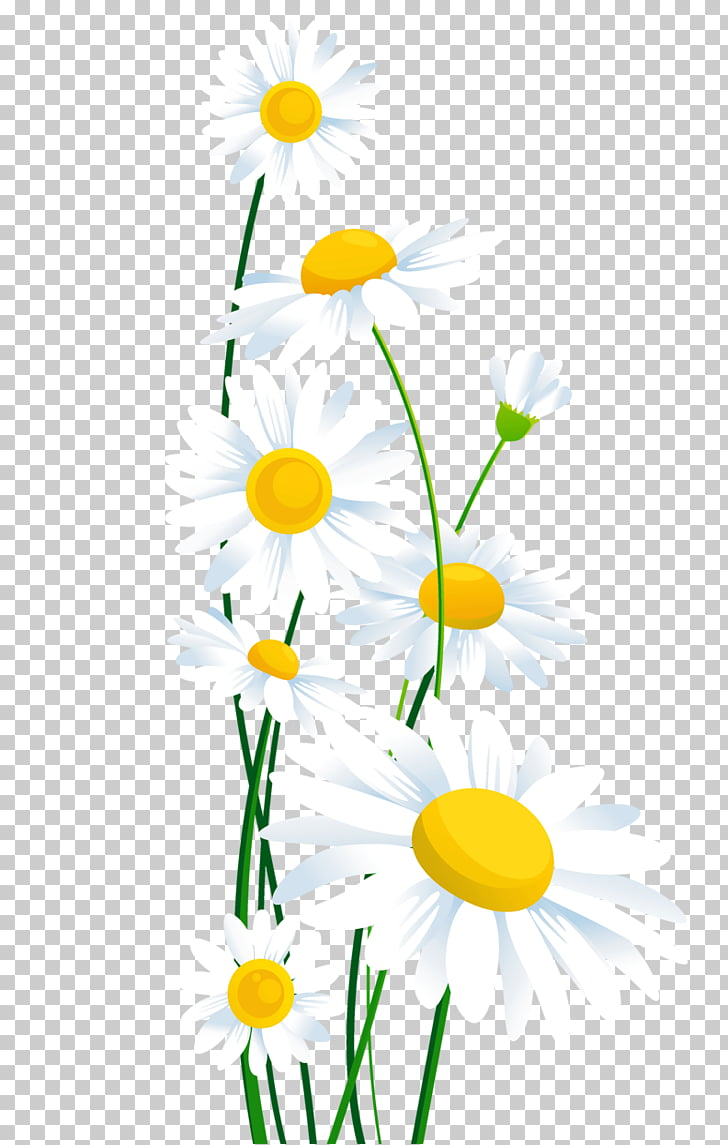 Common daisy Flower , daisy, white and yellow flowers PNG.