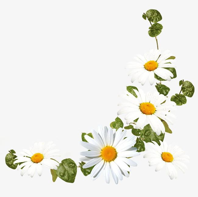 White Daisy Flower Decoration Pattern PNG, Clipart, Daisy, Daisy.