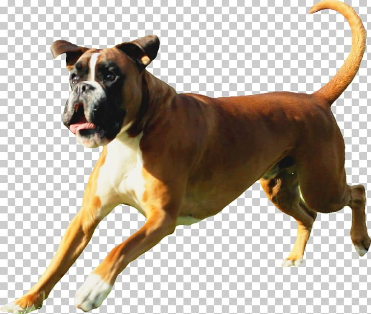 Dog Breed Boxer Allergy Atopy Demodex PNG, Clipart, Allergy.