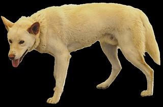 dingo clipart lge 20cm long.
