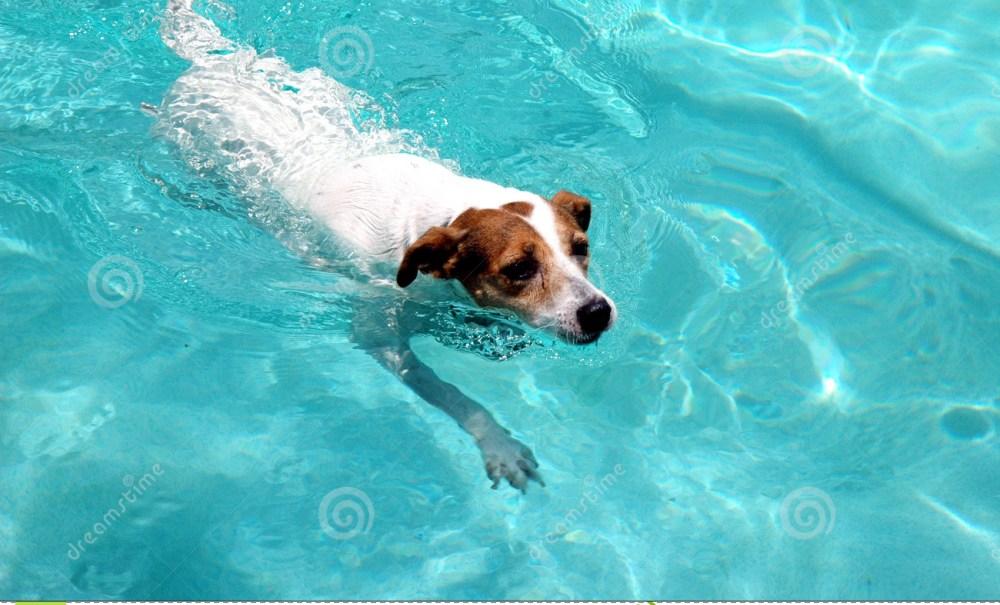 Dog In Swimming Pool.