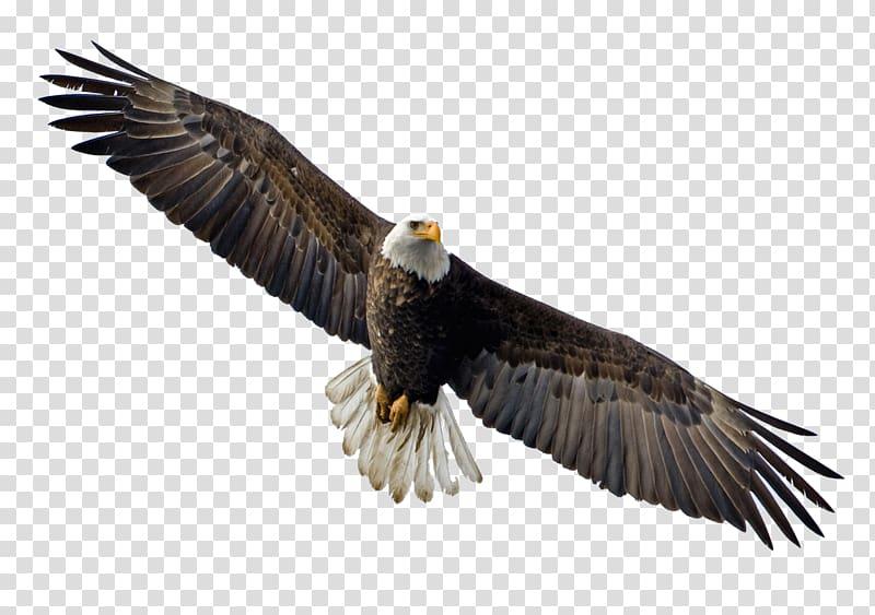 Bald Eagle Flight Bird, eagle transparent background PNG clipart.
