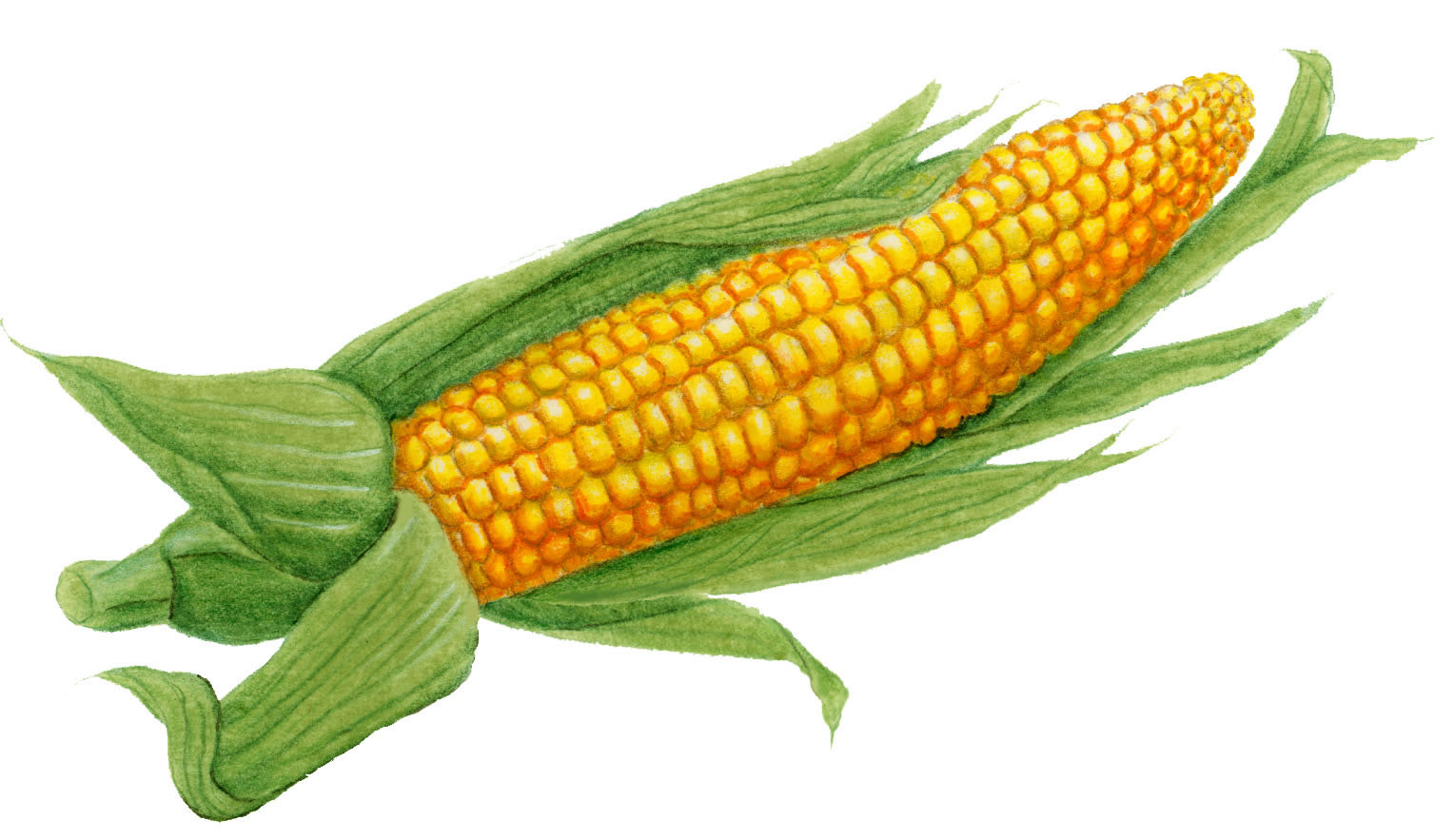 Ear of corn clipart 1 » Clipart Station.